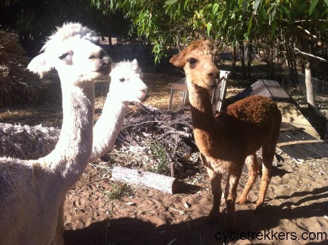 Charly's alpacas australia